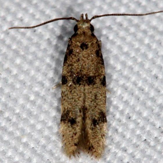 1010.96 BG Undescribed Autostichidae Moth Johathan Dickinson St Pk Fl 3-9-17 (3)_opt