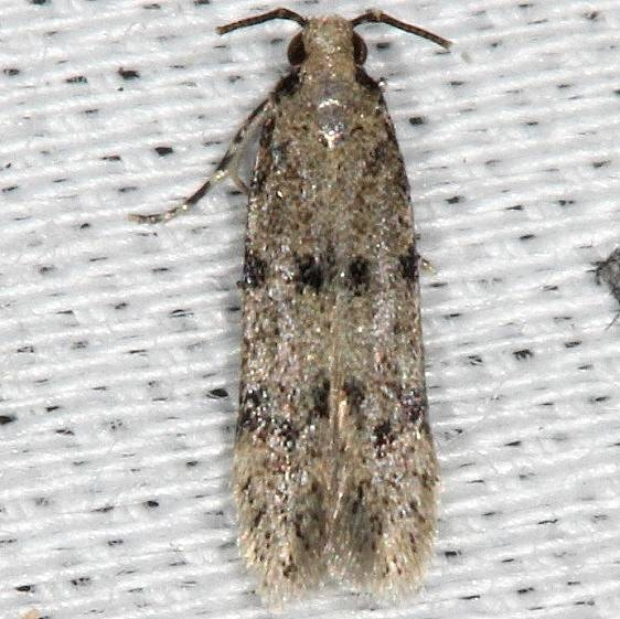 1010.96 Undescribed Autostrichidae Moth BG Collier Seminole St Pk 3-2-14 (26)_opt
