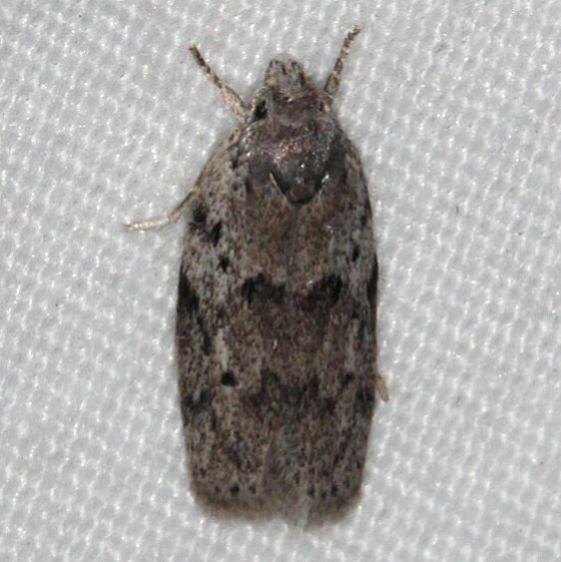 1019 Dotted Anteotricha Moth Collier-Seminole St Pk 3-3-15