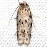 1019 Dotted Anteotricha Moth Collier Seminole St Pk 2-25-14