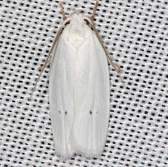 1024 Vestal Moth Antaeotricha vestalis Collier Seminole St Pk 2-25-14