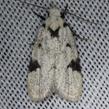 1034 Black-marked Inga Moth Kissimmee Prairie St Pk 2-17-14