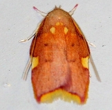 1069 Oak Skeletonizer Moth Cherry Tree Inn Victoria BC 8-17-14