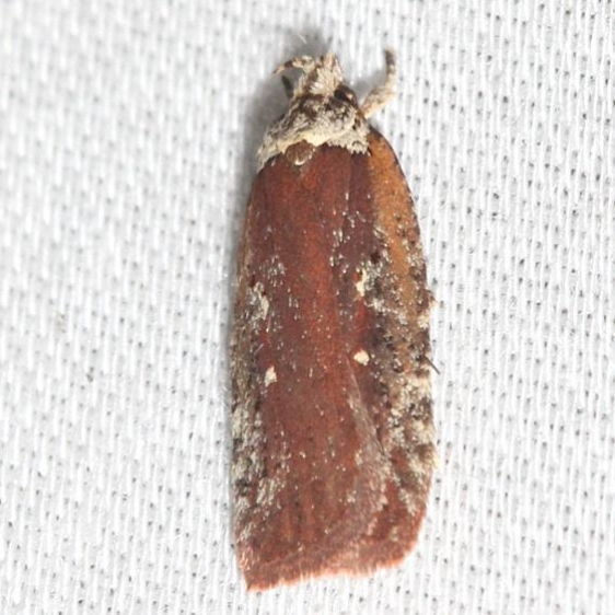 0857 Red Agonopterix Thunder Lake UP Mich 10-4-12