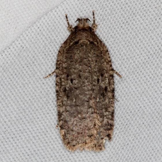0884 Thelma's Agonopterix Moth Jenny Wiley St Pk Ky 4-19-16