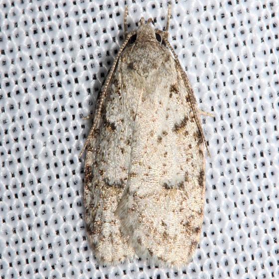 0911 Bog Bibarrambla Moth Jenny Wiley St Pk Ky4-26-12