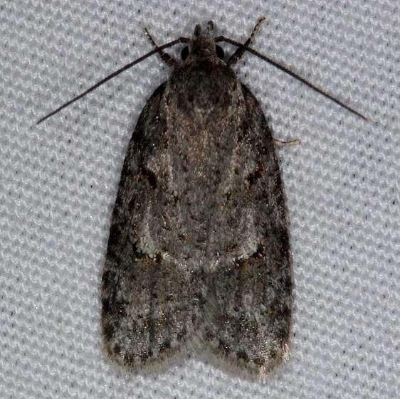 0911 Bog Bibarrambla Moth Thunder Lake UP Mich 6-20-14