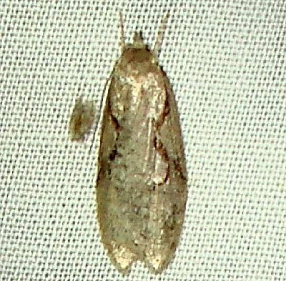 0912 Semioscopis Moth yard 5-11-11