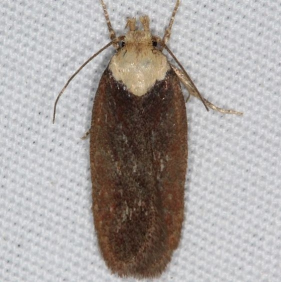 0924.1 Purple Carrot-seed Moth yard 6-3-16
