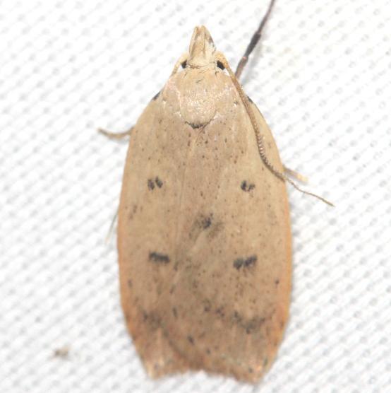 0951 Gold-striped Leaftier Moth yard 9-3-12