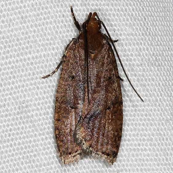 0955 Oak Leaftier Moth Lake Kissimmee St Pk 3-13-14