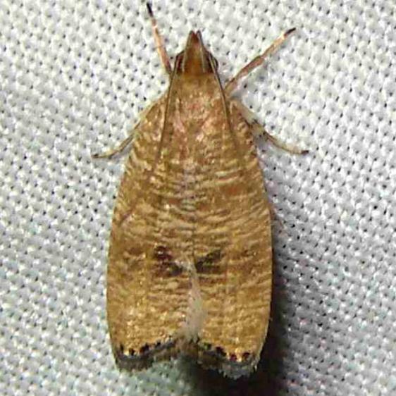0956 Black-fringed Leaftier Moth Paines Prairie St Pk 3-29-11