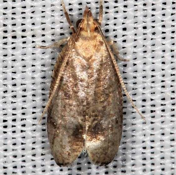 0960.97 Unidentified Psilocorsis worn BG Lake of the Woods Ontario 7-24-16 (23)_opt