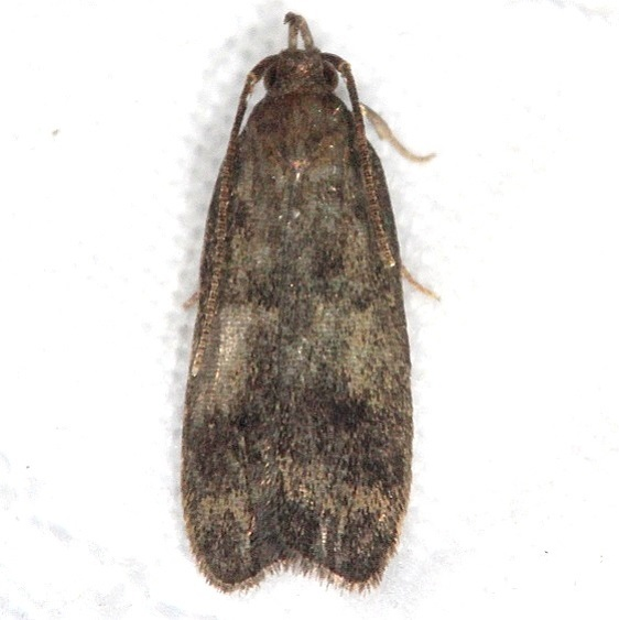 1143.97 Unidentified Glyphidocera Moth Favre Dykes St Pk Fl 2-20-17_opt