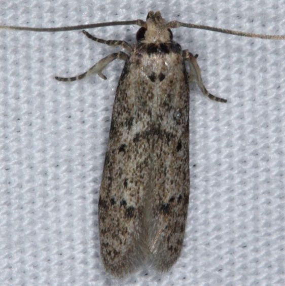 1154.97 Unidentified Blastobasis Moth Faver-Dykes St Pk Fl 2-24-15