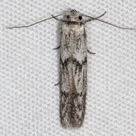 1156.97 Unidentified BG Hypatopa Moth Fool Hollow Lake St Pk Ariiz 5-23-17 (35)_opt