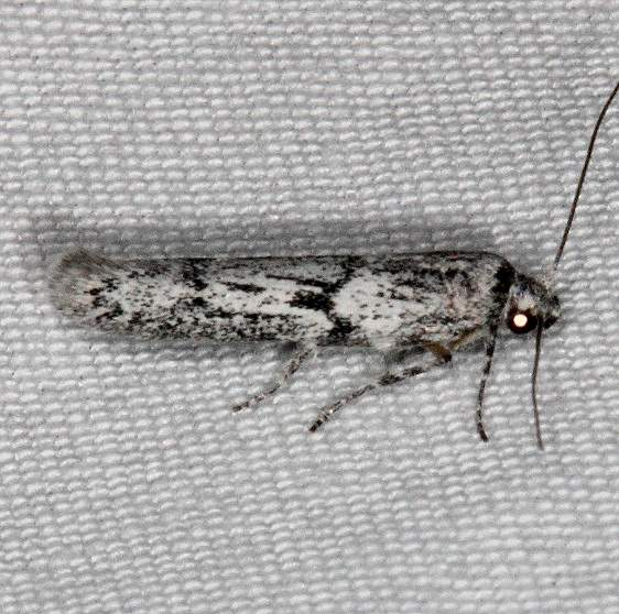1156.97 Unidentified BG Hypatopa Moth Fool Hollow Lake St Pk Ariiz 5-23-17 (36)_opt