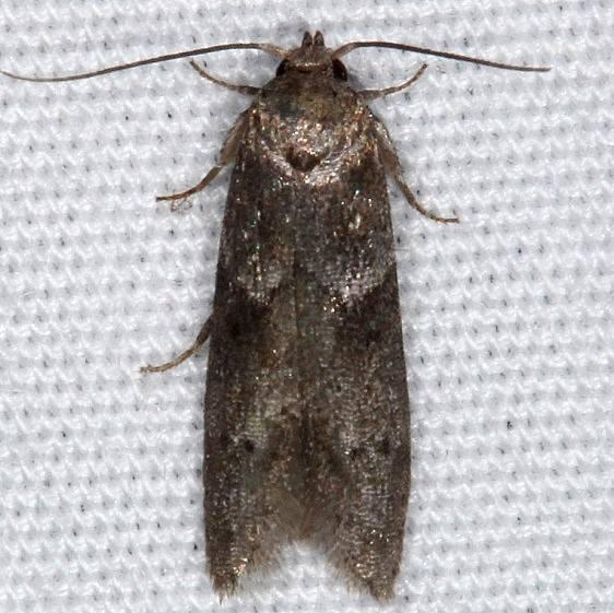 1162 Acorn Moth Moth yard 8-24-14