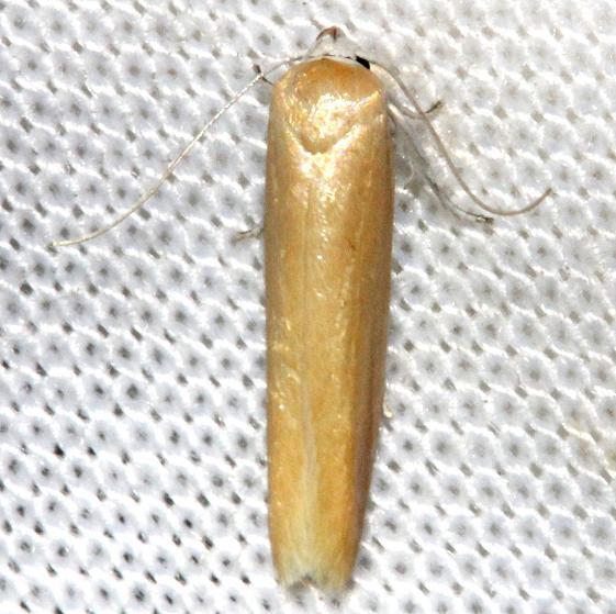 1221 Holcocera immaculella Kissimmee Prairie St Pk 3-12-13