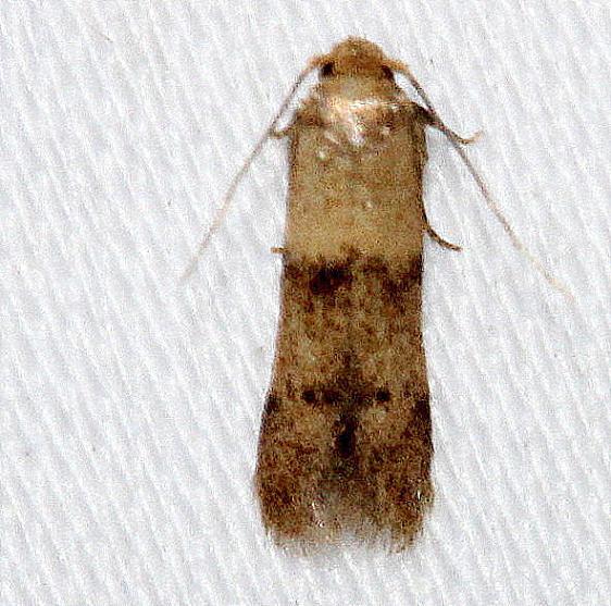 1238.97 Unidentified Pigritia Moth Kissimmee Prairie St Pk 3-16-13