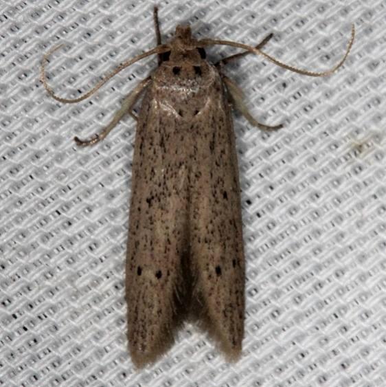 1253.98 Unidentified Blastobasinid Moth Lucky Hammock Everglades 2-22-14