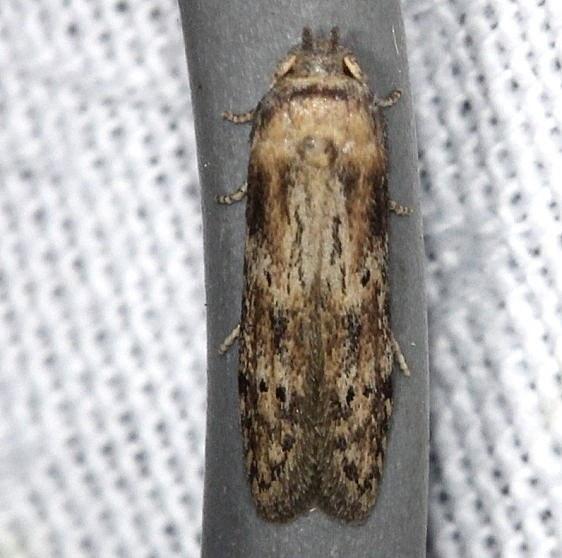1253.98 Unidentified Blastobasinid coleophorid NABA Gardens Texasa 11-3-13 (2)_opt