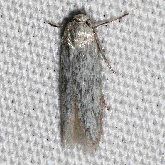 1253.98 Unidentified Blastobasid Moth BG Golden Gate Canyon St Pk Colo 6-26-17