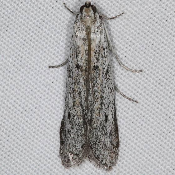1253.98 Unidentified Blastobasinid Moth BG Devil's Canyon Campground National Forest Utah 6-7-17 (106)_opt