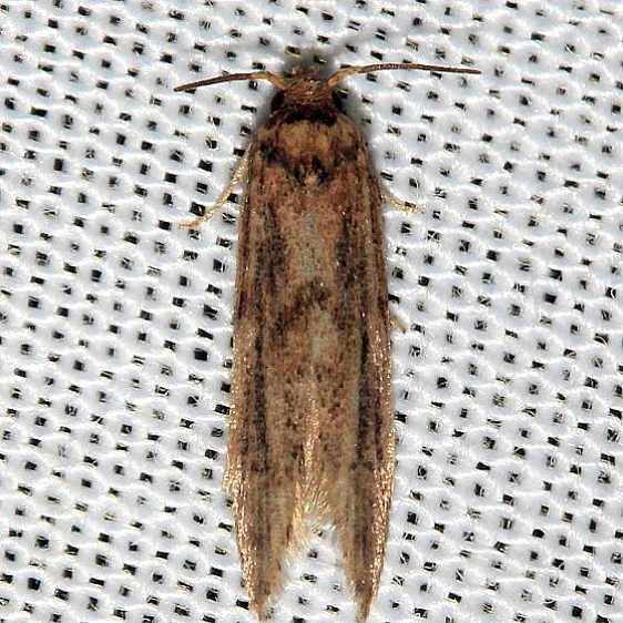 1253.98 Unidentified Blastobasinid Moth BG Lake Kissimmee St Pk Fla 2-26-13 (78)_opt