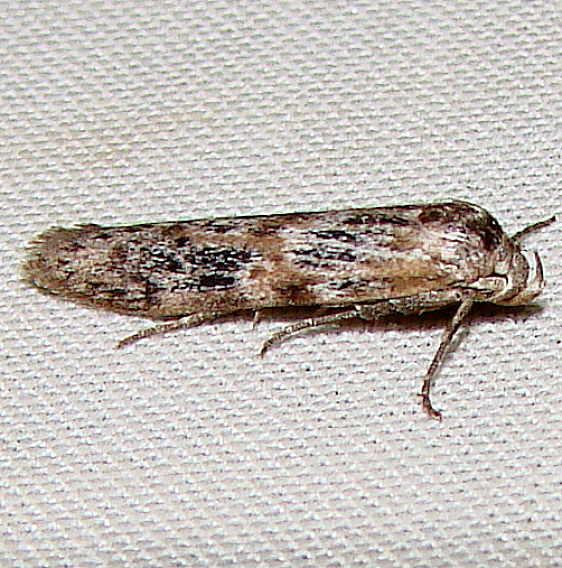 1253.98 Unidentified Blastobasinid Moth yard 8-14-11 (6)_opt