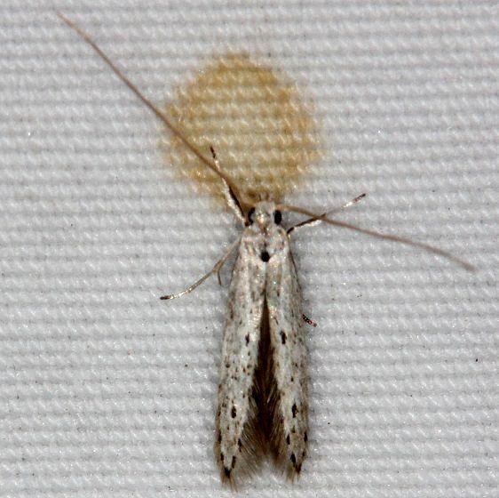 1254.98 Unidentified Blastobasinid Moth Little Manetee River St Pk 3-1-15