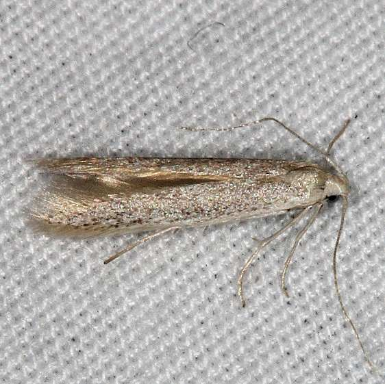 1298.97 Unidentified Coleophora Moth Moab RV Resort Moab Utah 6-4-17 (28)_opt