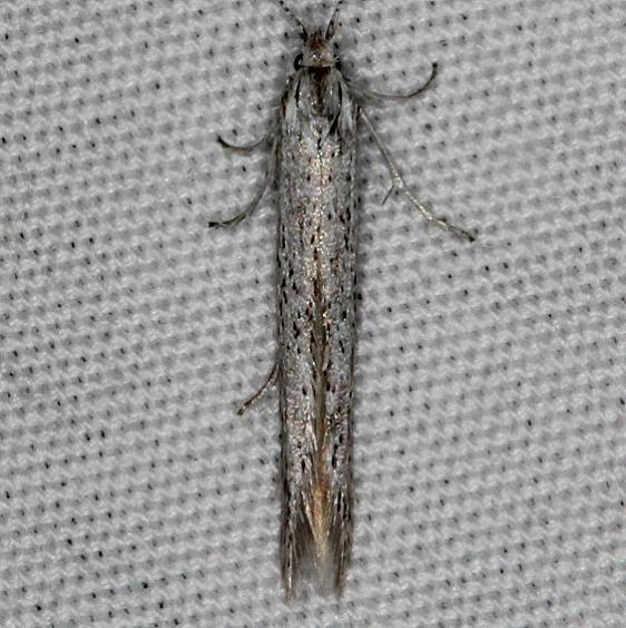 1305 Coleophora gluacella Mesa Verde Natl Pk Colorado 6-10-17 (20)_opt