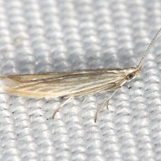 1358 Coleophora quadrilineella yard 5-29-13