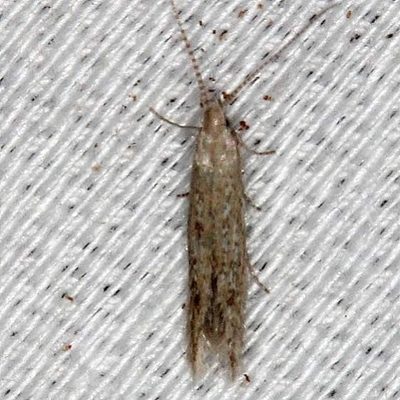 1398.97 Unidentified Coleophora Moth Collier Seminole St Pk 3-1-14