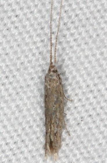 1398.97 Unidentified Coleophora Moth Collier-Seminole St Pka 3-5-15 (11)_opt