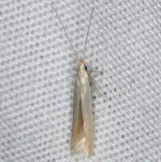 1398.97 Unidentified Coleophora Moth yard 6-3-14