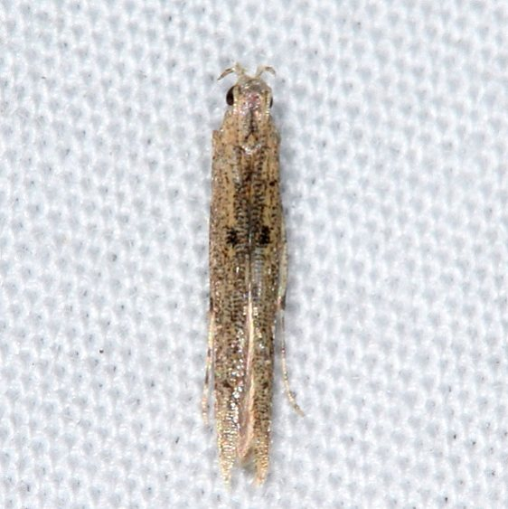 1416.97 Unidentified Batrachedra Moth Collier-Seminole St Pk 3-5-15