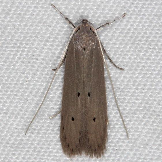 1422 Palm Leaf Skelitonizer Moth Collier-Seminole St Pk 3-3-15