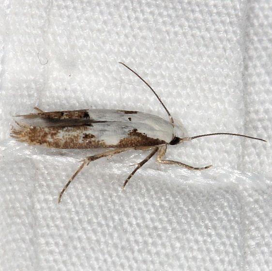 1434 Circumscript Mompha Moth Bader's house Palm Coast Fl 3-21-15