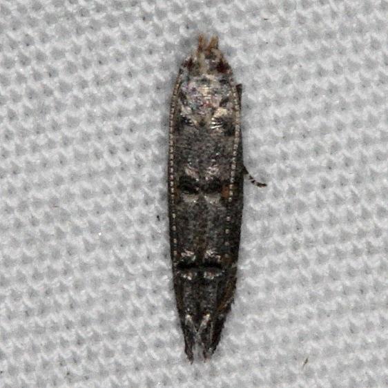 1458.99 Unidentified Momphid BG Moth Oscar Scherer St Pk 3-14-15