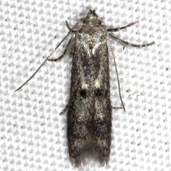 1458.99 Unidentified Momphid Moth yard 5-25-14