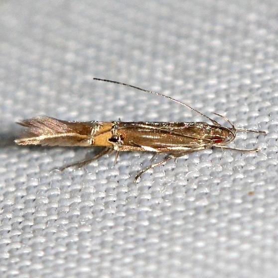 1472 Beautiful Cosmopterix Moth yard 5-22-12