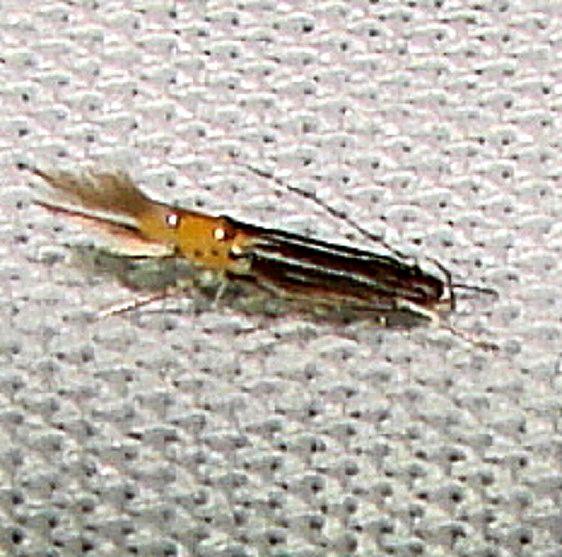 1480 Cosmopterix delicatella Gold Head Branch St Pk Fl 2-14-12