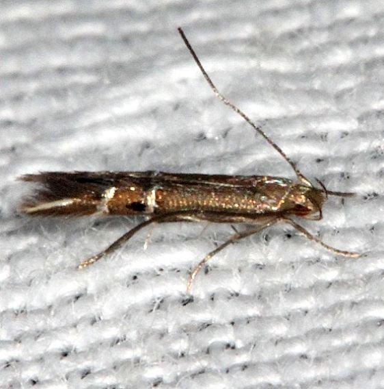 1496 Fernald's Cosmopterix Moth Long Pine Key Everglades 2-24-14