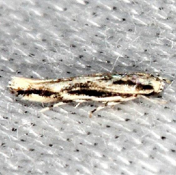 1503 Melanocinclis lineigera Pineland Everglades 2-18-14