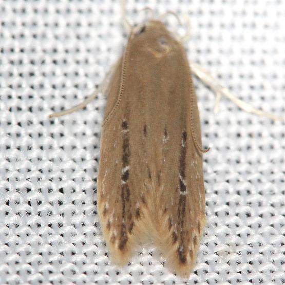 1515 Shy Cosmet Moth yard 6-8-13
