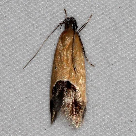 1524 Sweetclover Root Borer Moth Oscar Scherer St Pk Fla 2-28-17_opt