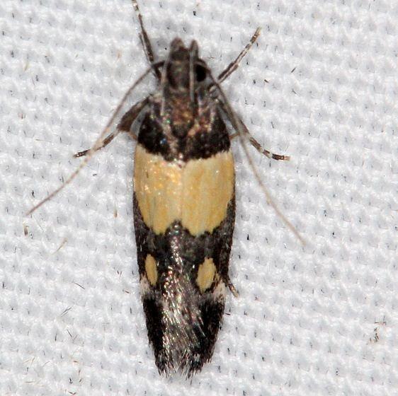 1527 Triclonella determinatella Campsite 119 Falcon St Pk Texas 10-27-16_opt