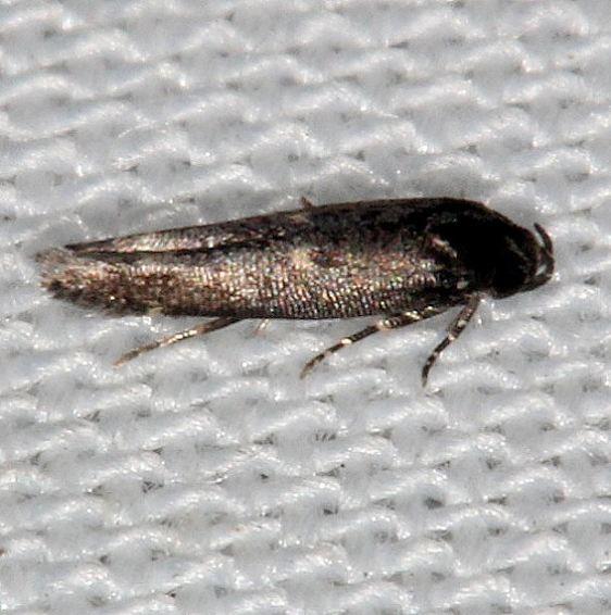 1632.97 Unidentified Perimede Moth Collier Seminole St Pk 3-1-14